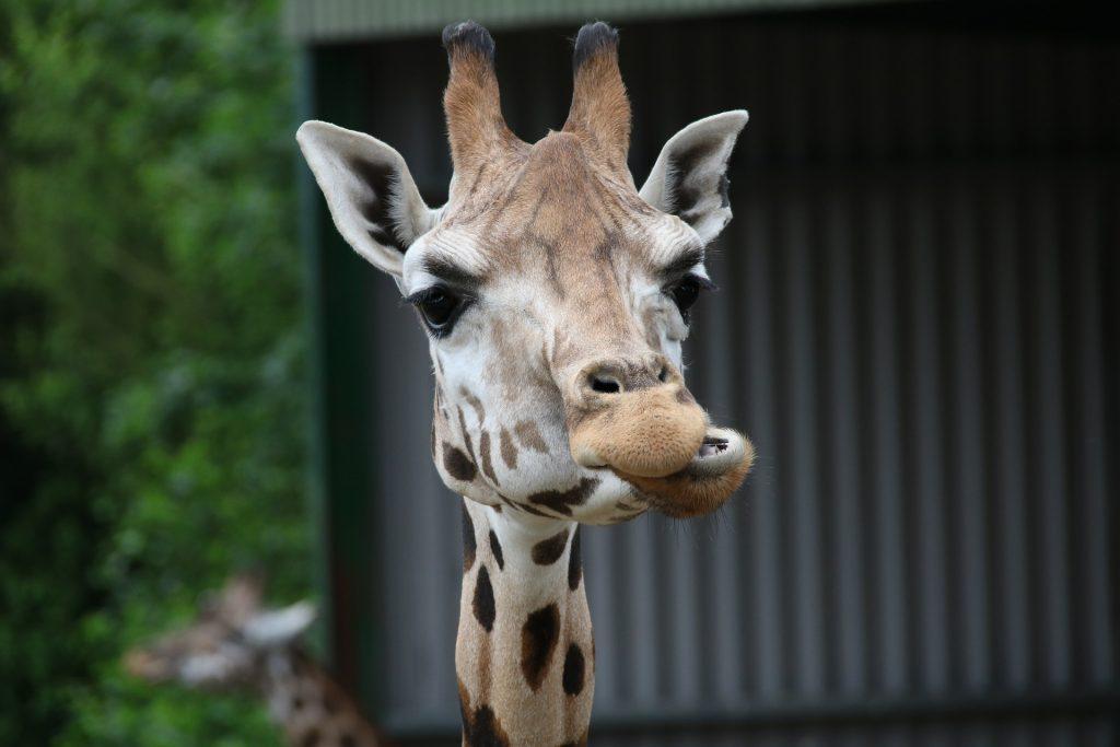 Giraffe chewing a chunk of food
